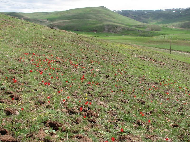 Tulip fields with Tulipa julia, habitat near Erzurum (North East Turkey spring 2007)