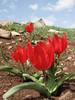 Tulipa, national flower of Turkey, Tulipa armena (North East Turkey spring 2007)