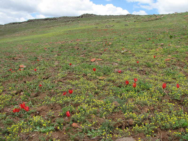 grasslands with tulips, Tulipa julia (North East Turkey spring 2007)