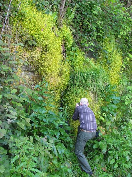 Kristian take photographs in the habitat of Saxifraga symbalaria (coast road black see)