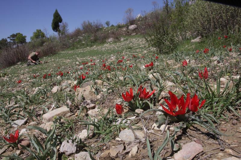 Tulipa foliosa  formerly T. armena ssp. lysica