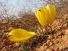 Sternbergia clusiana (Gazi Antep - Kahraman Maras)