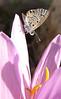 Leptotus pirithous on Colchicum polyphyllum (klein tijgerblauwtje) (Hassa - Gazi Antep)