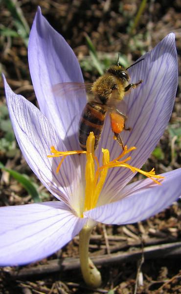 Crocus cancellatus ssp. cancellatus (Kozan - Kozan)