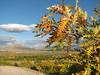 Quercus robur ssp. pedunculiflora (Kozan - Kozan)