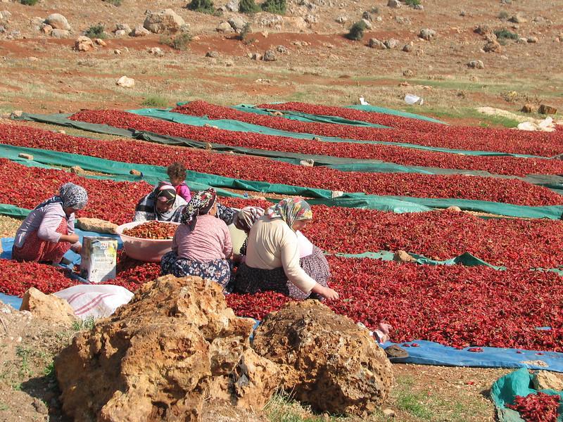 drying red peppers near Islahiye (Hassa - Gazi Antep)