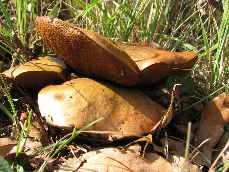 Autumn = fungus   Suillus spec.(Boletus spec.)boleet (Adana - Serinyol)