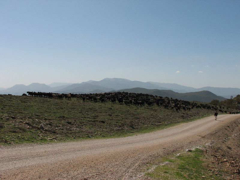 Goats near the Syrian border (Hassa - Gazi Antep)