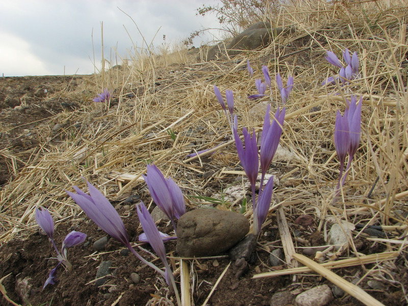 Crocus pallasii ssp. turcicus, alt. 500m, volcanic soil, 12km S.E. of Diyarbakir [9]