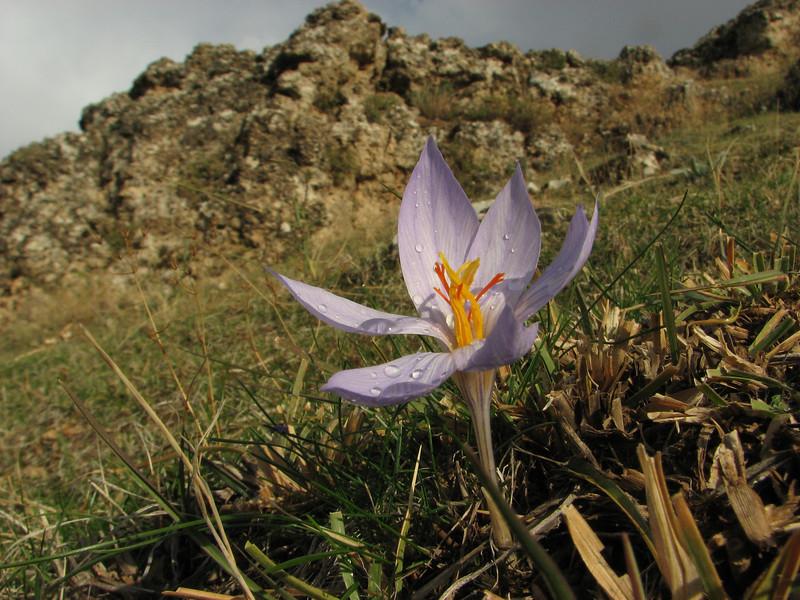 Crocus cancellatus ssp. damascenus, alt. 800m on limestone, 5km  N.E. of Mazidagi [10]