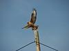 Buteo refinus, Long-legged Buzzard (NL: arendbuizerd) near Ziyaret Gecidi 1900m [3] (Gürün-Pinarbasi)