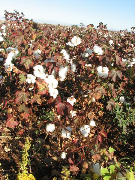 Harvesting cotton, Hilvin-Siverek