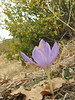 Crocus kotschyanus ssp. hakkariensis, 1800m between Haruna- and Sapatan Gecidi [16]