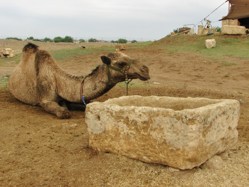 Dromedary, Arabic atmosphere, traditional houses of Harran, S.E. of Sanliurfa