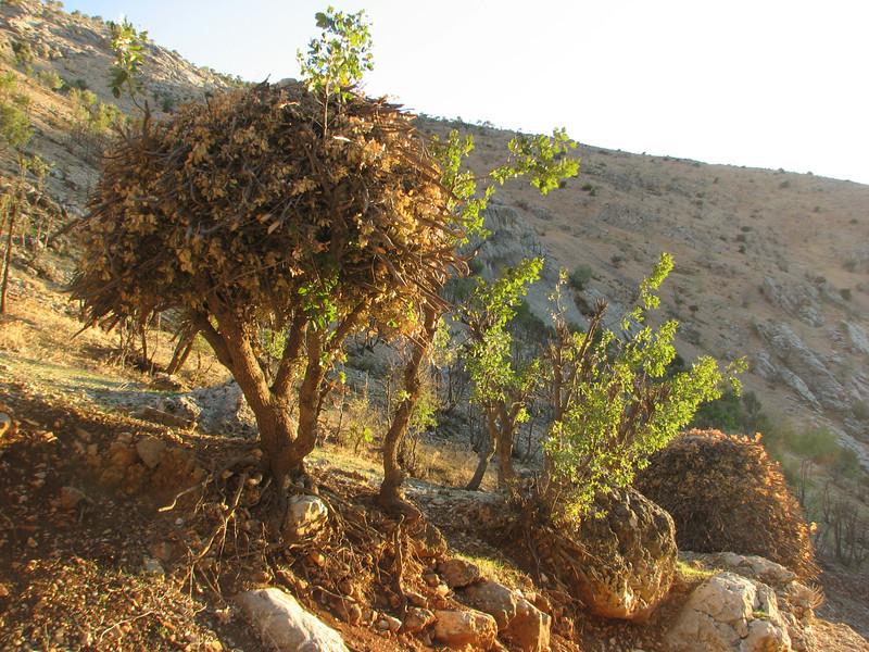 Storage of oak coppice,  Damlac - Arsameia