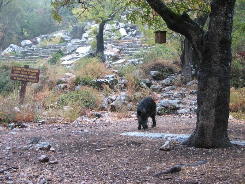 Sus scrofa, Wild Boar (Termessos, SW Turkey)