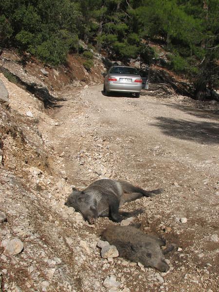 wild pig, trafic accident? NW of Kumluca SW Turkey)