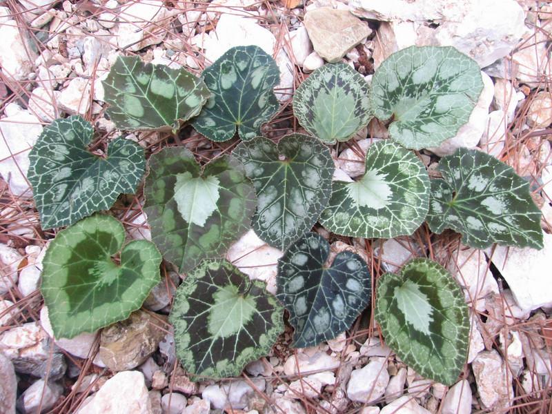 variationpaterns of leaves of Cyclamen graecum ssp. anatolicum (just NW of Kumluca SW Turkey)