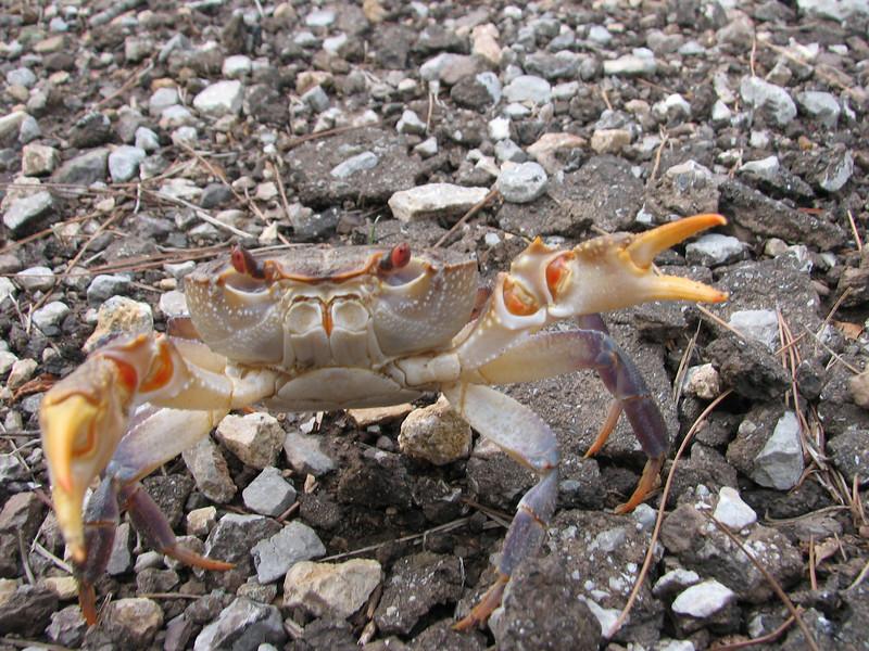 crab (Southwestern Turkey)