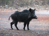 Sus scrofa, Wild Boar (Termessos, SW Turkey) (photo K.J.)