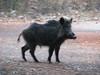 Sus scrofa, Wild Boar (Termessos, SW Turkey) (photo K.J.)