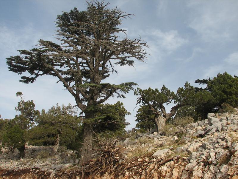 Cedrus libani (Baba Daglari 1671m., Southwestern Turkey)