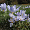 Crocus pulchellus (meadow just after entrance to Uludağ Millî Parkı, 1350m)