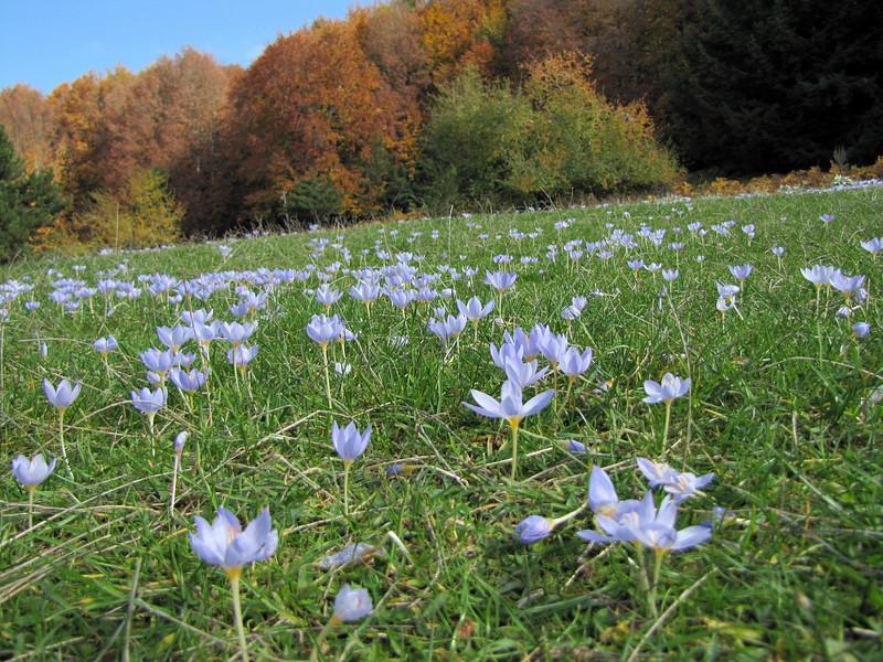 Crocus pulchellus (meadow just after entrance to Uludağ Millî Parkı, 1350m)