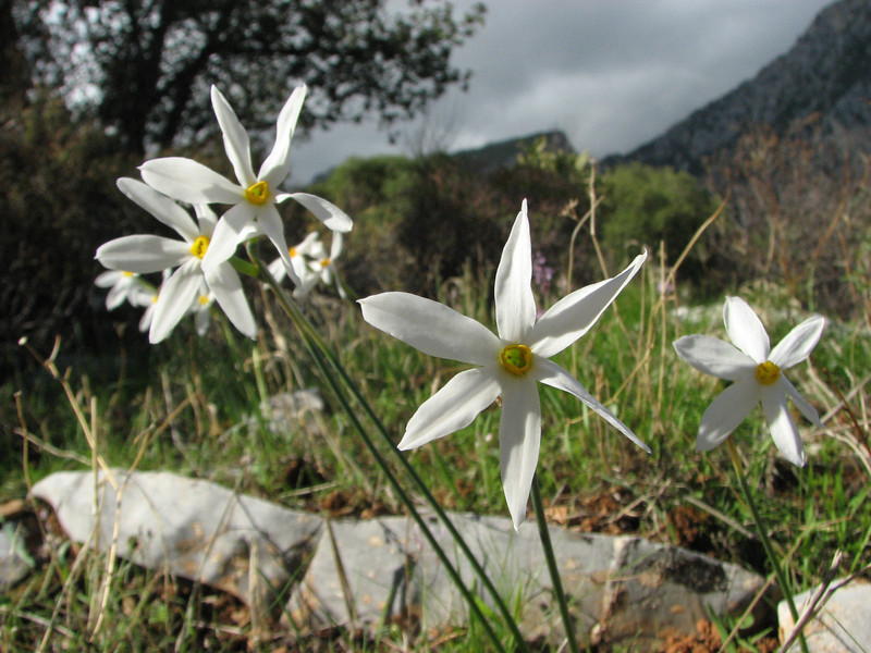 Narcissus serotinus (just west of the Datça junction on the road to Knidos, on limestone)
