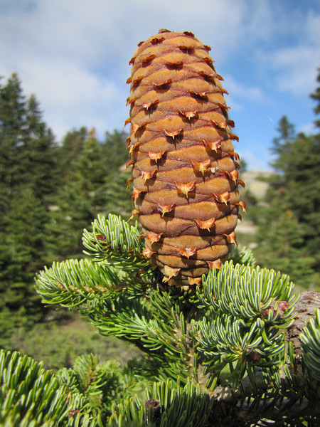 pinecone of Abies bornmuelleriana, Uludag fir (on granite, 1750m altitude, Uludag)