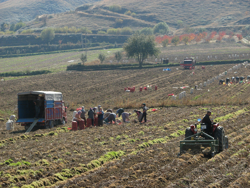 Potato harvest (east of Bozdağ, road up in the mountains, from a pass on foot to 1770m, Bozdağlar)