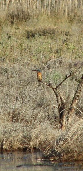 Alcedo atthis, Kingfisher (NL: ijsvogel)(west of Turburgazi, southern coast of Dilek Peninsula)