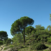 Pinus pinea (A few kilometres south of Labranda)