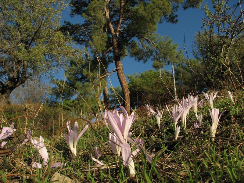 Colchicum balansae (Between Bozburun and Taslica, just past Sögüt Köy)