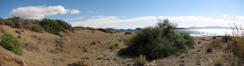 Pancratium maritimum (Fossil Dunes, ten km east of Datça, Datça Peninsula)