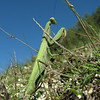 Mantis religiosa, Praying mantis (NL: Europese bidsprinkhaan)(North of Milas)