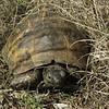 Testudo graeca (NL: Moorse landschildpad)