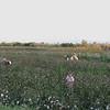 Harvesting cotton (near Atburgazi)