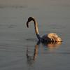 Phoenicopterus ruber, Greater Flamingo- juvenile 3-5 months  (NL: Flamingo)(west of Turburgazi, southern coast of Dilek Peninsula)