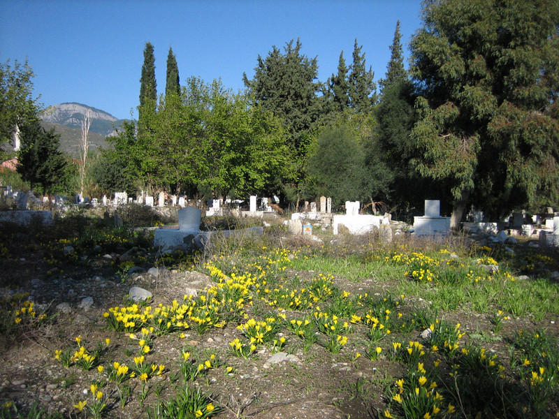 Sternbergia lutea on a graveyard (along the road Akkoy – Mugla)