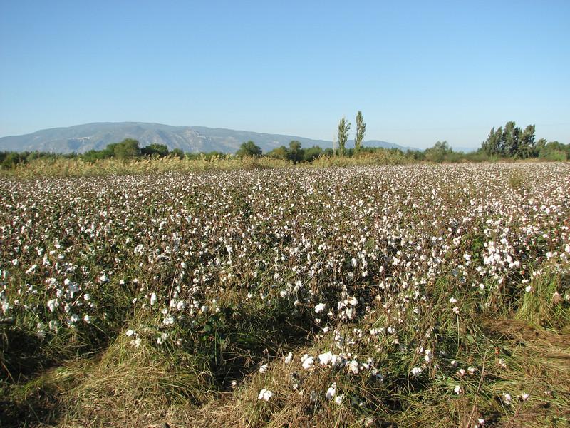 Cotton fields (near Söke)