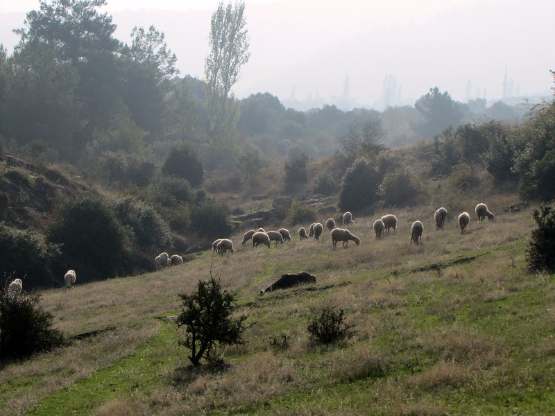 Sheep in landscape around Bozdağlar, south of Salihli, along road, mica schist habitat