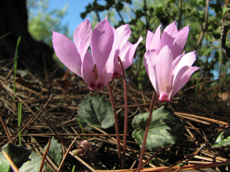 Cyclamen mirabile on micaschist (North of Milas)