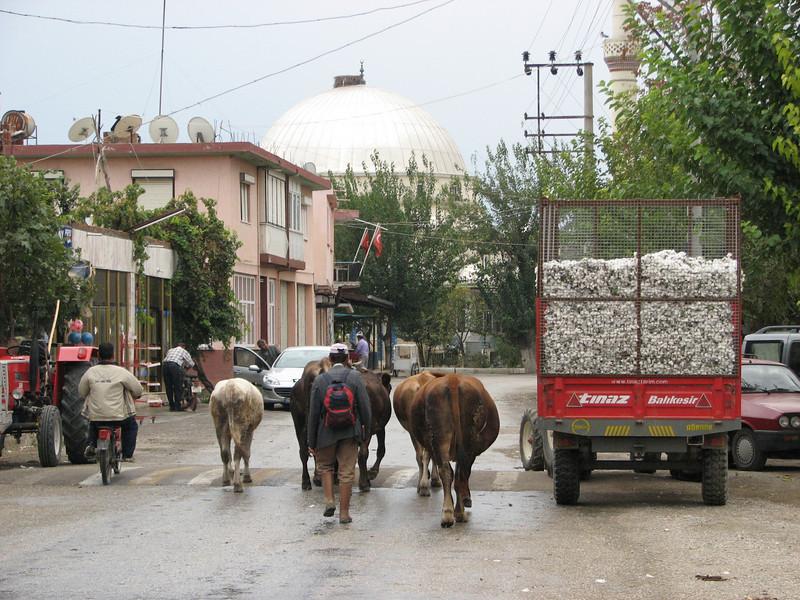 Cotton harvest (Between Buldan and Akköy)