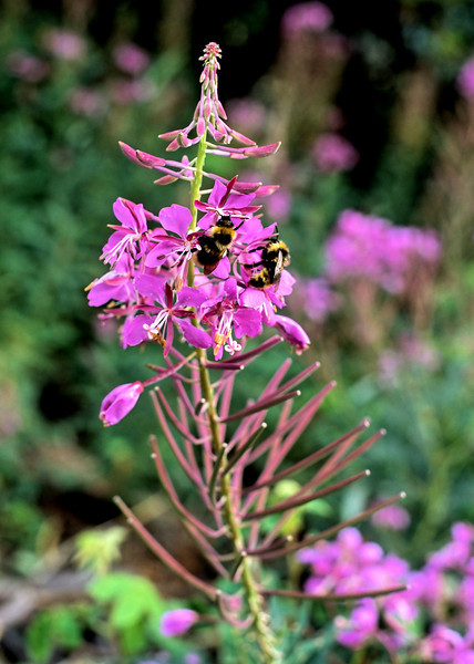 Bees on fireweed.  These flowers cover large patches of the Yukon river valley in late spring and early summer.