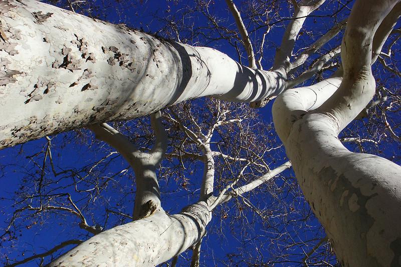 Sycamore trees near Montezuma's castle.