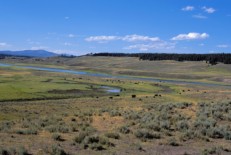 Bison on the high plains of Yellowstone National Park.  August 2003.