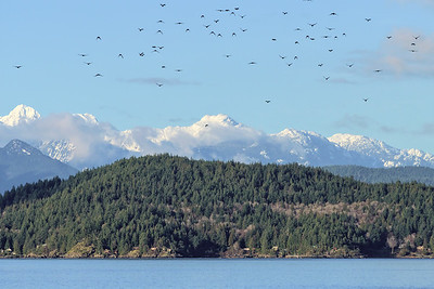 A small flock of crows flying over Horseshoe Bay.