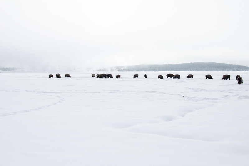 Bison spend most of their waking winter hours plowing snow with their heads. They have to push the snow aside to get at frozen edible plants.