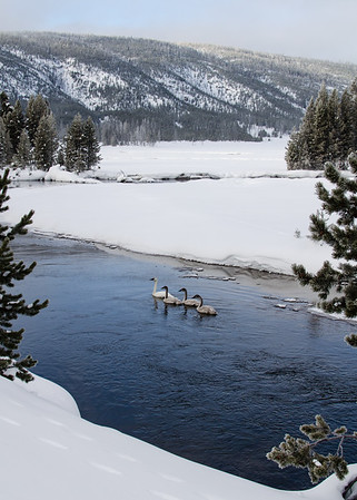 Trumpeter Swans: an adult and three cygnets. I've visited Yellowstone dozens of times but I've never seen Trumpeters. They frequent the park's open waters in the winter.